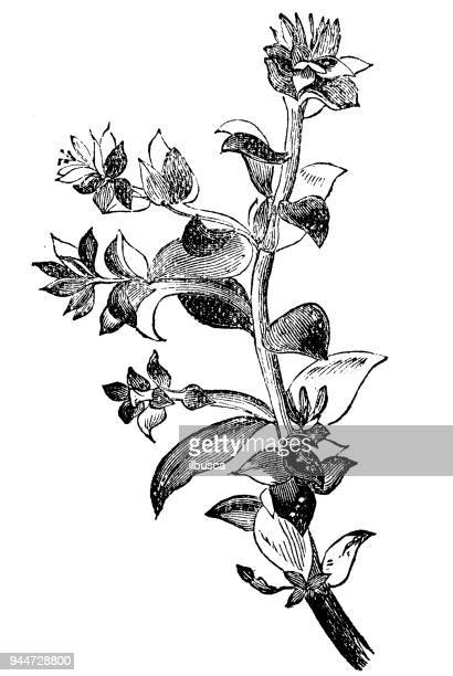 botany plants antique engraving illustration: honckenya peploides (sea sandwort, seaside sandplant) - sandwort stock illustrations, clip art, cartoons, & icons