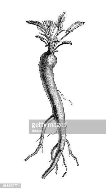 植物植物アンティーク彫刻イラスト: わさび、ホースラディシュ、cochlearia armoracia - 西洋わさび点のイラスト素材/クリップアート素材/マンガ素材/アイコン素材
