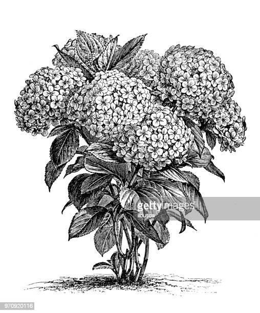 botany plants antique engraving illustration: hydrangea hortensis - hydrangea stock illustrations