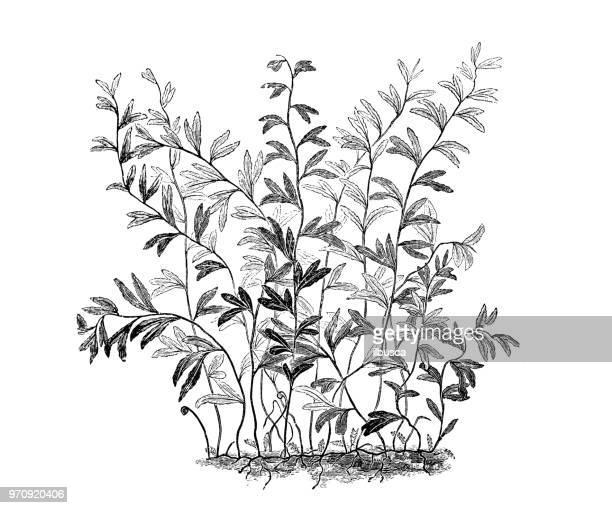 ilustraciones, imágenes clip art, dibujos animados e iconos de stock de botánica plantas antigua ilustración de grabado: hymenophyllum falklandicum, filmy fern - islas malvinas