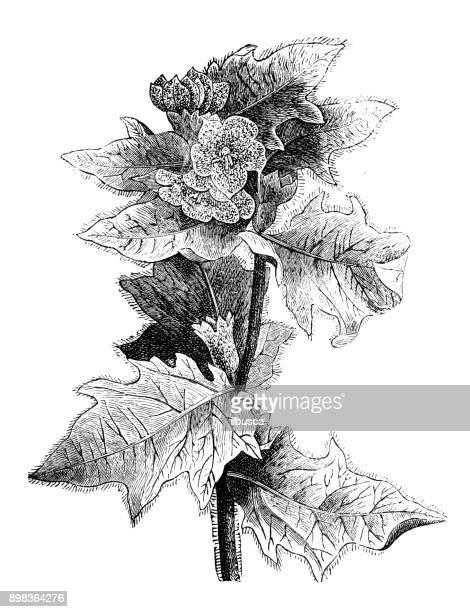 ilustrações, clipart, desenhos animados e ícones de plantas de botânica antiga ilustração de gravura: hyosciamus niger (meimendro, meimendro negro ou pretinha fedorenta) - níger