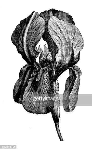 botany plants antique engraving illustration: iris germanica - archival stock illustrations, clip art, cartoons, & icons