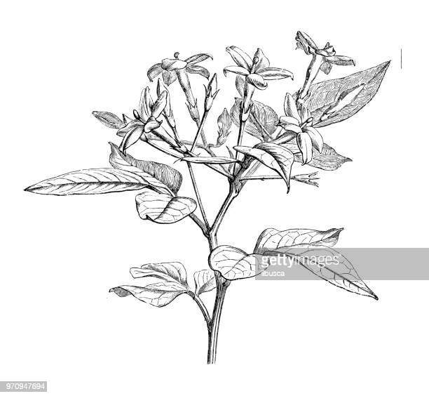 Botany plants antique engraving illustration: Jasminum Floridum