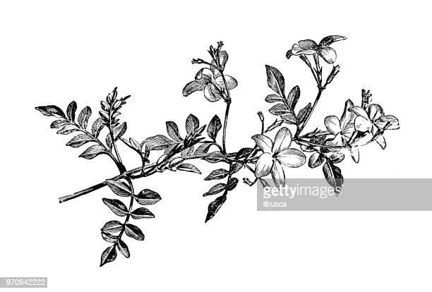 ilustraciones, imágenes clip art, dibujos animados e iconos de stock de botánica plantas antigua ilustración de grabado: jasminum grandiflorum, español jazmín, jazmín real, jazmín de catalán - botánica