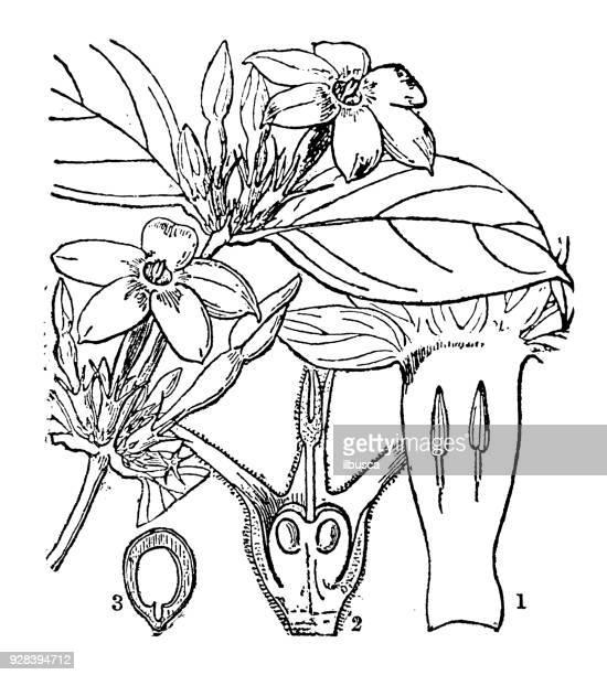 Botany plants antique engraving illustration: Jasminum ligustrifolium