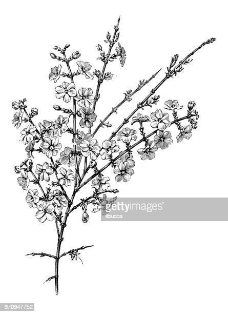 Botany plants antique engraving illustration: Jasminum Nudiflorum, winter jasmine