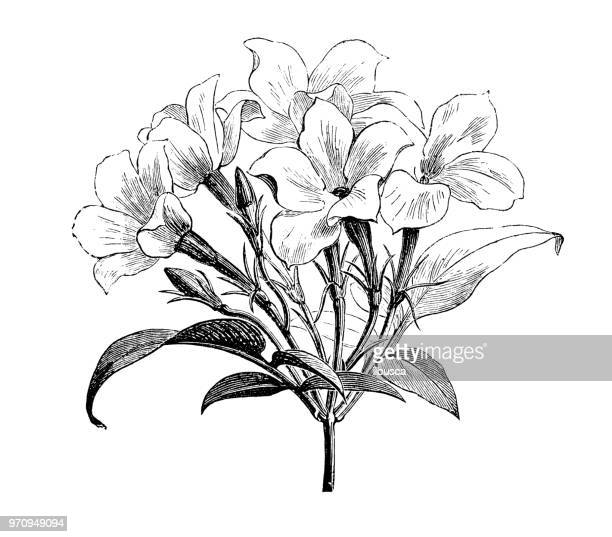 Botany plants antique engraving illustration: Jasminum officinale affine, Jasmine