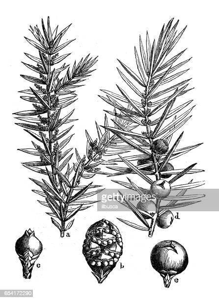 botany plants antique engraving illustration: juniperus communis (common juniper) - juniper tree stock illustrations