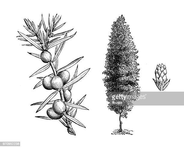 botany plants antique engraving illustration: juniperus communis hibernica - juniper tree stock illustrations