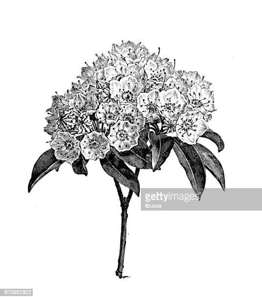 ilustrações, clipart, desenhos animados e ícones de plantas de botânica antiga ilustração de gravura: kalmia latifolia, laurel mountain, chita-arbusto, spoonwood - mel do louro da montanha