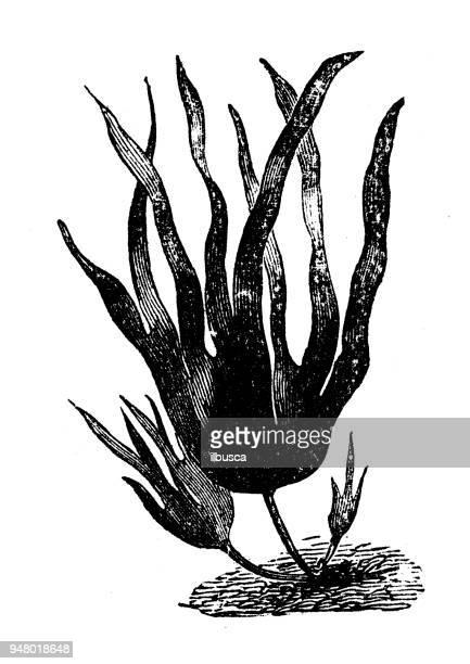 Botany plants antique engraving illustration: Laminaria digitata