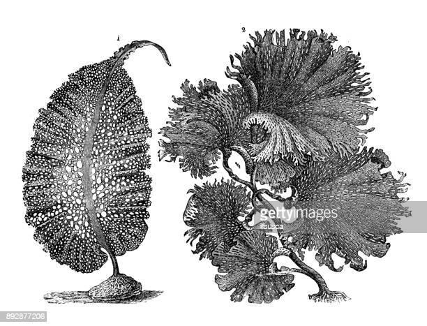 Botánica Plantas antigua ilustración de grabado: alga algas de las algas: agarum gmelini, clathrus thalassophyllum