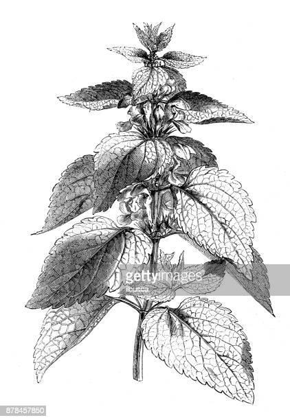 植物植物アンティーク彫刻イラスト: オドリコソウ アルバム (白イラクサまたは白いオドリコソウ) - イラクサ点のイラスト素材/クリップアート素材/マンガ素材/アイコン素材