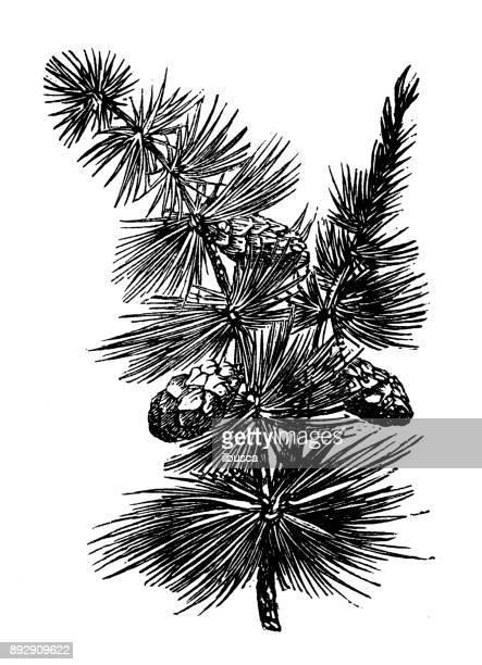 Botánica Plantas antigua ilustración de grabado: Larix decidua (Alerce europeo)