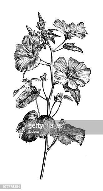 illustrations, cliparts, dessins animés et icônes de plantes de botanique antique illustration de gravure: lavatera trimestris, annuel mauve, rose mauve, mauve royale, regal mauve - hibiscus