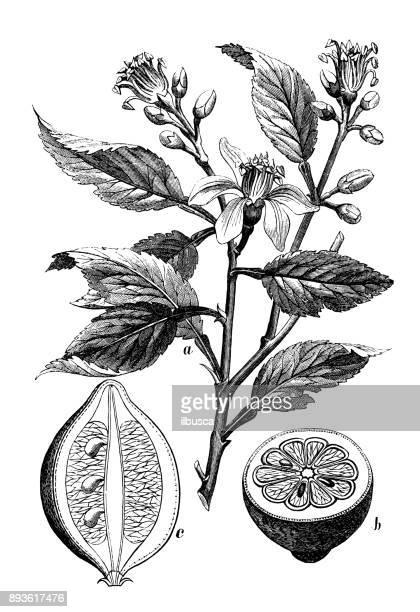 ilustraciones, imágenes clip art, dibujos animados e iconos de stock de botánica plantas antigua ilustración de grabado: limón (citrus limon) - citricos