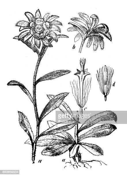 Botany plants antique engraving illustration: Leontopodium alpinum (edelweiss)