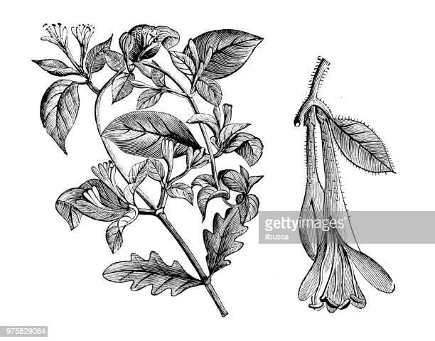 botany plants antique engraving illustration: lonicera flexuosa - arrowwood stock illustrations, clip art, cartoons, & icons