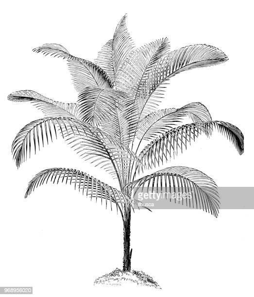 illustrations, cliparts, dessins animés et icônes de plantes de botanique antique illustration de gravure: lytocaryum weddellianum, miniature cocotier, palmier de weddell - feuille de palmier