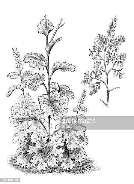 botany plants antique engraving illustration: macleaya cordata (five-seeded plume-poppy) - oriental poppy stock illustrations, clip art, cartoons, & icons