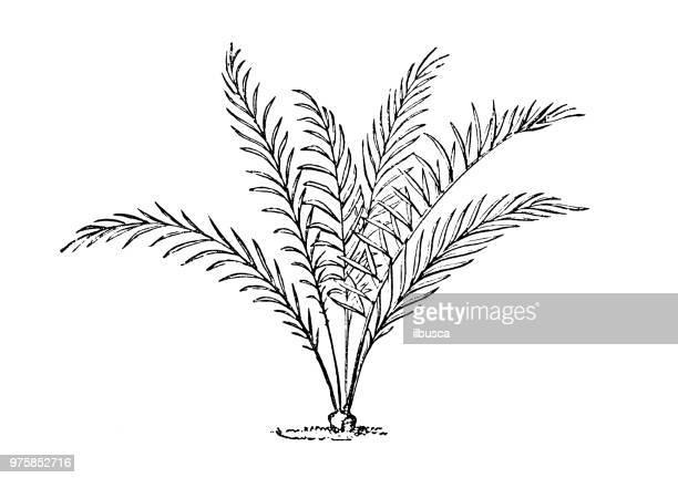 Botany plants antique engraving illustration: Macrozamia spiralis