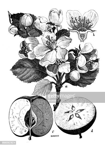 ilustraciones, imágenes clip art, dibujos animados e iconos de stock de botánica plantas antigua ilustración de grabado: malus sylvestris (manzana de cangrejo europeo) - manzano