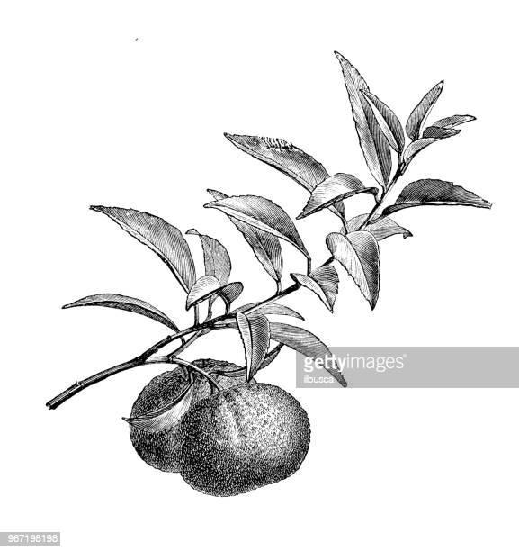 botany plants antique engraving illustration: mandarin orange (citrus reticulata) - tangerine stock illustrations