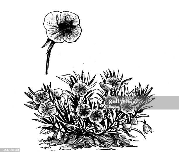 Botany plants antique engraving illustration: Missouri Evening Primrose