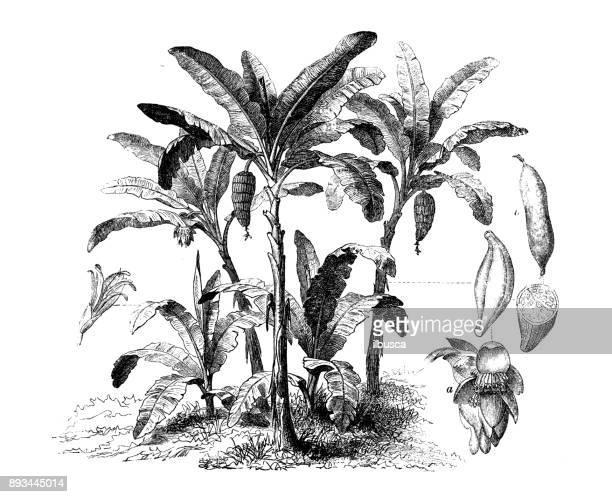 Ilustraciones de Stock y dibujos de Hoja De Platano | Getty Images