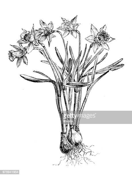 botany plants antique engraving illustration: narcissus pseudonarcissus, wild daffodil - daffodil stock illustrations, clip art, cartoons, & icons