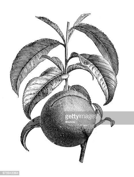 ilustrações, clipart, desenhos animados e ícones de plantas de botânica antiga ilustração de gravura: nectarina - botão estágio de flora