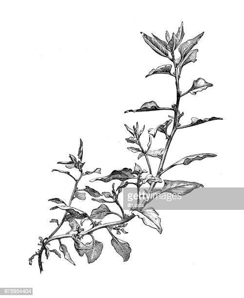 botany plants antique engraving illustration: new zealand spinach - branch stock illustrations