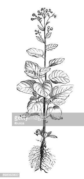 botany plants antique engraving illustration: nicotiana rustica (aztec tobacco, wild tobacco) - tobacco crop stock illustrations, clip art, cartoons, & icons