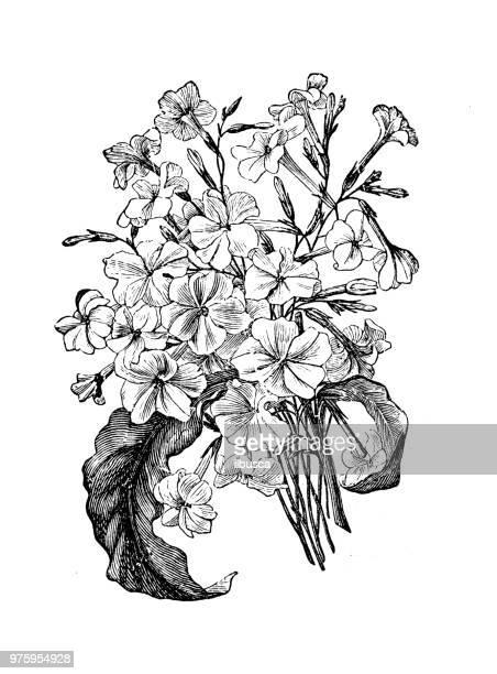 botany plants antique engraving illustration: nicotiana suaveolens, australian tobacco - tobacco crop stock illustrations, clip art, cartoons, & icons