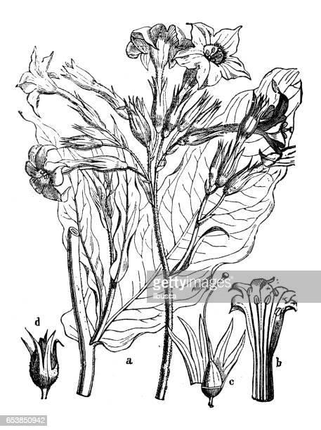 botany plants antique engraving illustration: nicotiana tabacum (tobacco) - tobacco crop stock illustrations, clip art, cartoons, & icons