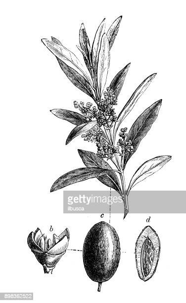 illustrations, cliparts, dessins animés et icônes de plantes de botanique antique illustration de gravure: olea europaea (olivier) - olivier