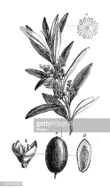 illustrations, cliparts, dessins animés et icônes de plantes de botanique antique illustration de gravure: olea europaea, olivier - olivier