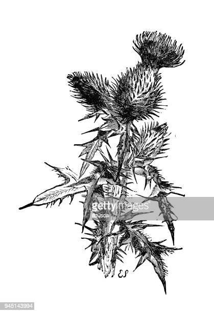botany plants antique engraving illustration: onopordum acanthium (cotton thistle, scotch thistle) - thistle stock illustrations