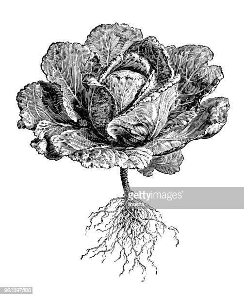 botany plants antique engraving illustration: oxheart cabbage - white cabbage stock illustrations, clip art, cartoons, & icons