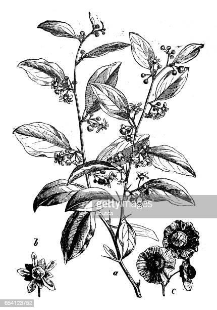 bildbanksillustrationer, clip art samt tecknat material och ikoner med botanik växter antik gravyr illustration: paliurus spina-christi (jerusalem thorn, garland thorn, kristi thorn törnekrona.) - taggig buske