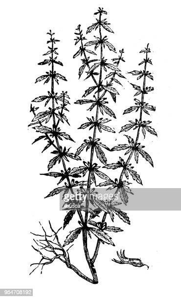 botany plants antique engraving illustration: pennyroyal - plant stage stock illustrations, clip art, cartoons, & icons