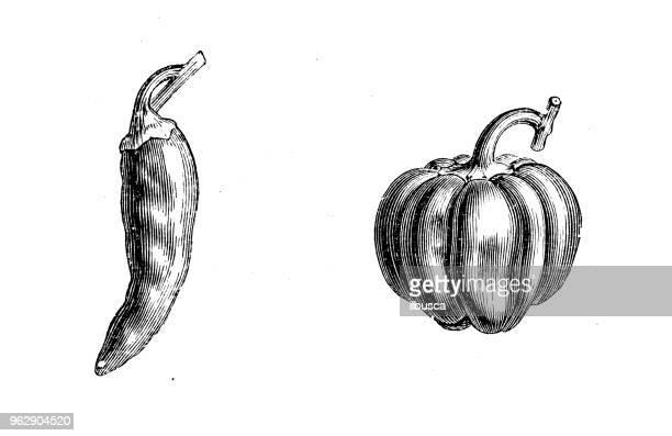 ilustrações de stock, clip art, desenhos animados e ícones de botany plants antique engraving illustration: peppers - pimenta
