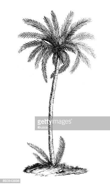bildbanksillustrationer, clip art samt tecknat material och ikoner med botanik växter antik gravyr illustration: phoenix dactylifera (dadelpalm) - gravyr