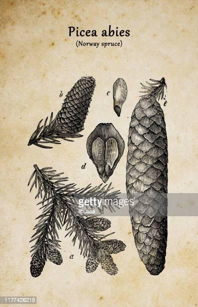 bildbanksillustrationer, clip art samt tecknat material och ikoner med botanik växter antik gravyr illustration: picea abies (norge spruce) - barrväxter