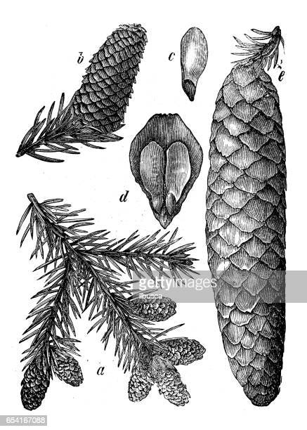 Botany plants antique engraving illustration: Picea abies (Norway spruce)