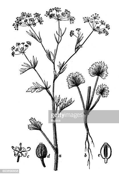 Botánica Plantas antigua ilustración de grabado: Pimpinella anisum (anís)