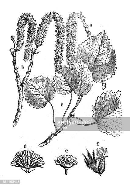 botany plants antique engraving illustration: populus tremula (aspen, common aspen, eurasian aspen, european aspen, quaking aspen) - aspen tree stock illustrations, clip art, cartoons, & icons