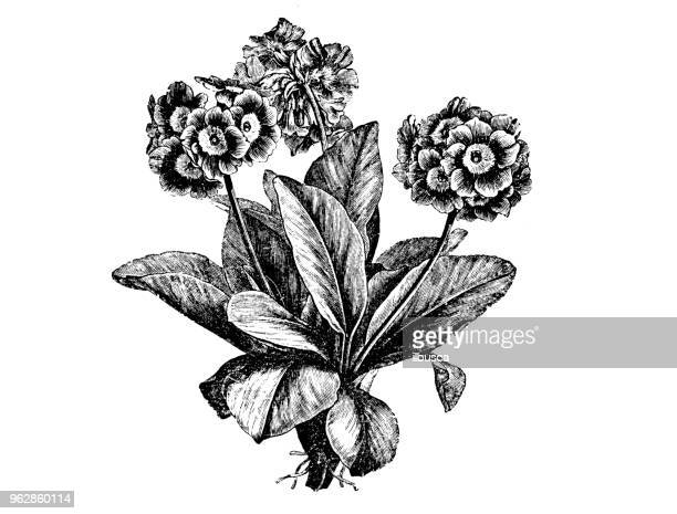 Botany plants antique engraving illustration: Primula auricula (auricula, mountain cowslip, bear's ear)