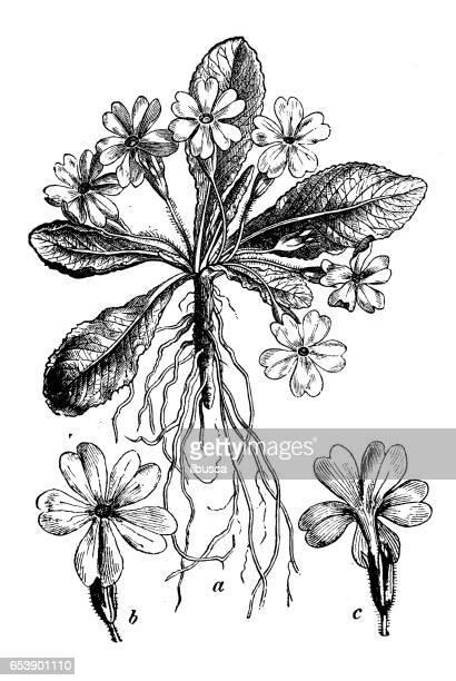 Botany plants antique engraving illustration: Primula vulgaris (primrose)