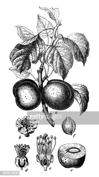Plantes de botanique antique illustration de gravure: Prunus armeniaca (abricot)